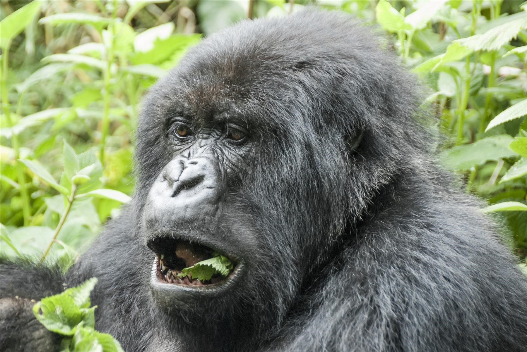Gorilla tracking is an experience one should have at least once in a lifetime
